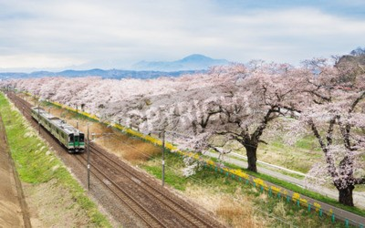 Canvas print Cherry blossoms or Sakura and local train