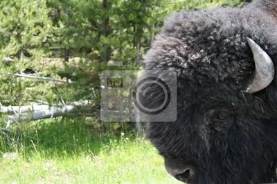 Close-Up Buffalo Head