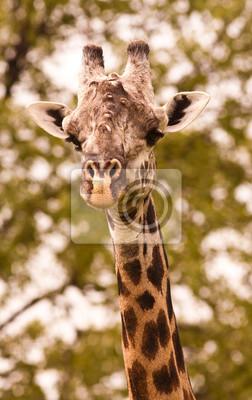 Close up of a wild giraffe
