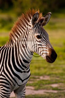 Close up of a zebra