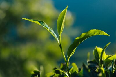 Canvas print Close-up of green fresh tea leaves on the plantation.