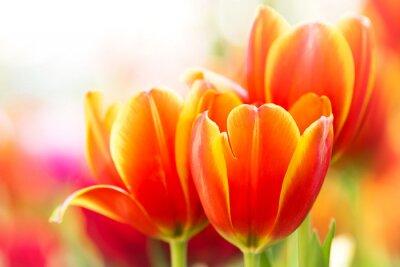 Canvas print Close-up orange tulip flower in nature