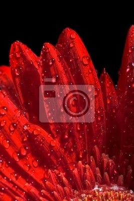 close up photo of the red gerber flower
