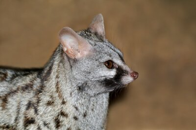 Close-up portrait of a large-spotted genet (Genetta tigrina), South Africa .