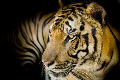 Canvas print Close up tiger