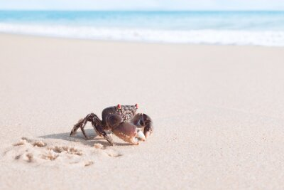 Close up view of  nice Crab is crawling  on a tropical beach.