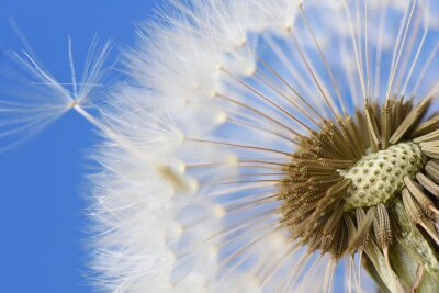 Canvas print Closeup of dandelion on blue background