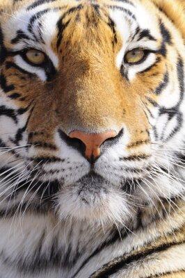 Canvas print Closeup Portrait shot of a Bengal Tiger