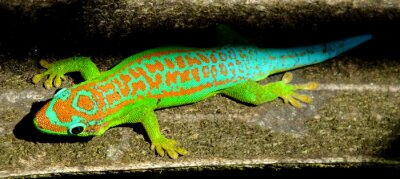Canvas print Colorful turquoise green gecko