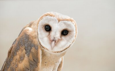 Canvas print common barn owl ( Tyto albahead ) close up