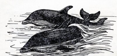 Canvas print Common bottlenose dolphin (Tursiops truncatus)