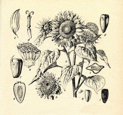 Canvas print Common sunflower (Helianthus annuus)