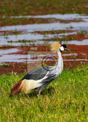 Canvas print Crone crane on green shore. SweetWater, Kenya