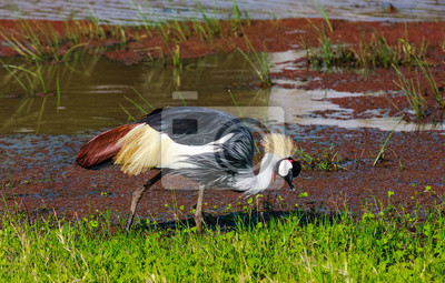 Canvas print Crone crane on shore of small pond. SweetWater, Kenya