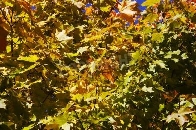 Canvas print Crone of a maple in the autumn on a background of the blue sky