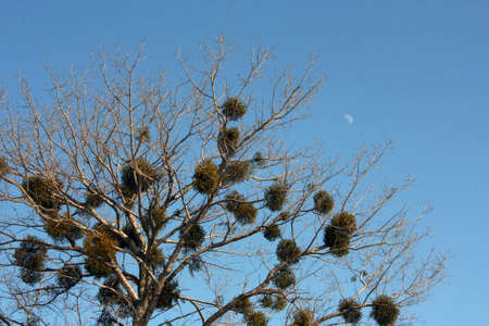 Canvas print Crone of a tree with evergreen plants which parasitize on branches against the moon