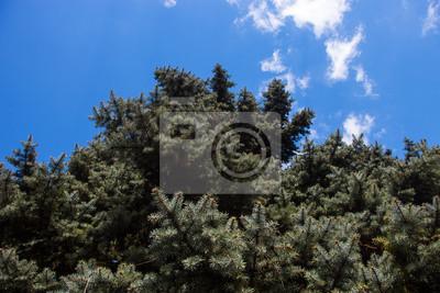 Canvas print Crone of the Colorado blue spruce