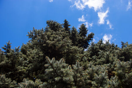 Canvas print Crone of the Colorado blue spruce against the blue sky background