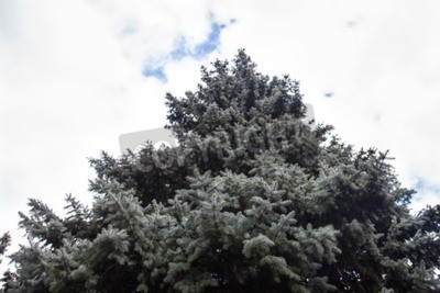 Canvas print Crone of the Colorado blue spruce against the cloudy sky background