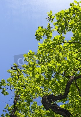 Canvas print Crone of tree against blue sky background.