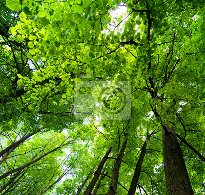 Canvas print Crone of trees in forest