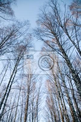 Canvas print Crones of birches