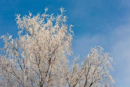 Canvas print Crones of birches in cold sunny winter day