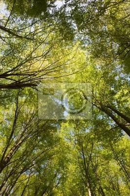Canvas print Crones of trees