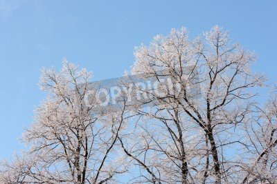 Canvas print Crones of trees in cold sunny winter day