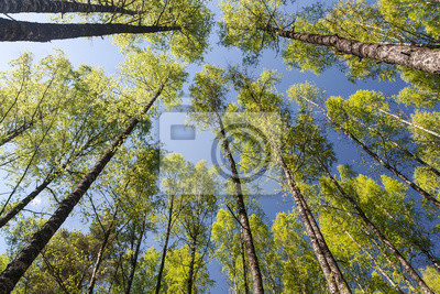 Canvas print Crones of trees in spring