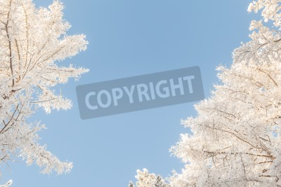 Canvas print Crones of trees in the winter. A natural background.