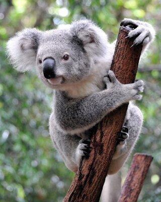 Canvas print Curious koala