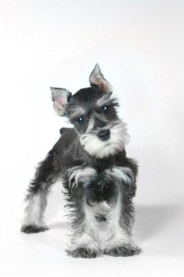 Canvas print Cute Baby Miniature Schnauzer Puppy Dog on White