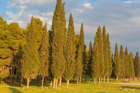 Cypress trees landscape summer sunset evening forest meadow grass