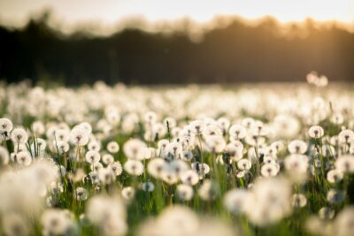Canvas print dandelion field at sunset