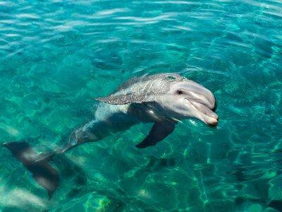 Canvas print Dolphin smiles like Mona Lisa