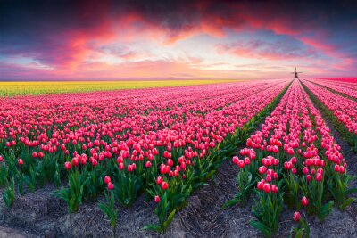 Canvas print Dramatic spring scene on the tulip farm