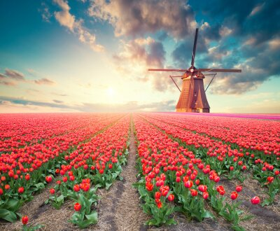 Canvas print Dramatic spring scene on the tulip farm. Colorful sunset in Netherlands, Europe.