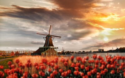 Canvas print  Dutch windmills with red tulips close the Amsterdam, Holland