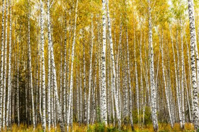 Canvas print Early autumn birch grove