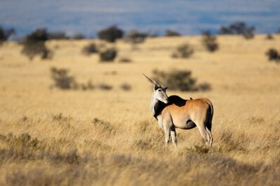 Eland antelope (Tragelaphus oryx) in natural habitat, Mountain Zebra National Park, South Africa.