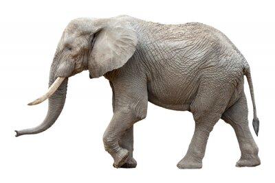 Canvas print Elefant vor weißem Hintergrund