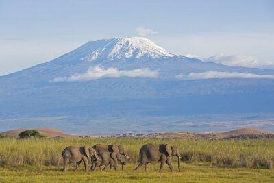 Canvas print Elefanten mit Kilimandscharo