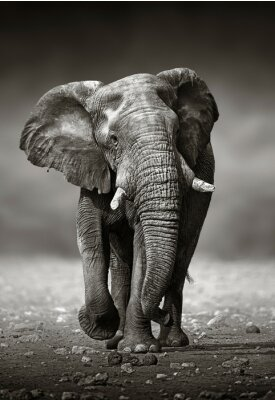 Canvas print Elephant approach from the front