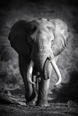 Canvas print Elephant Bull (Artistic processing)