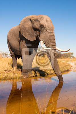 Canvas print Elephant Drinking Water