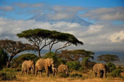Canvas print Elephant family in front of Mt. Kilimanjaro