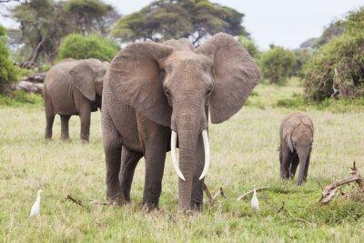 Canvas print Elephant Family in Kenya