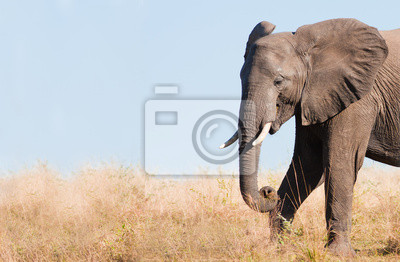 Elephant feeding with space for text
