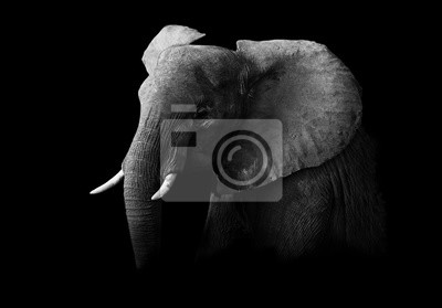 Canvas print Elephant in black and white with a dark background